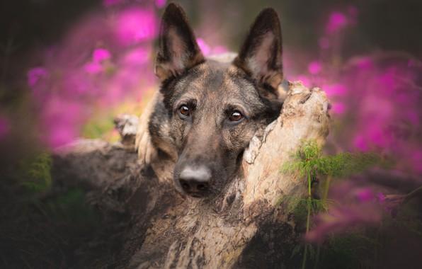 Picture look, face, dog, snag, bokeh, German shepherd