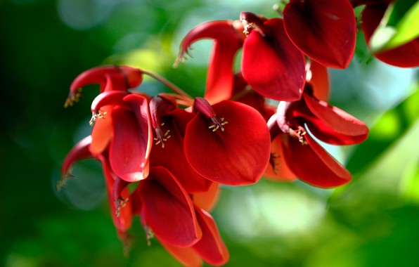 Picture greens, the sun, macro, flowers, nature, red, bokeh, cockscomb, Of eritrine, Erythrina