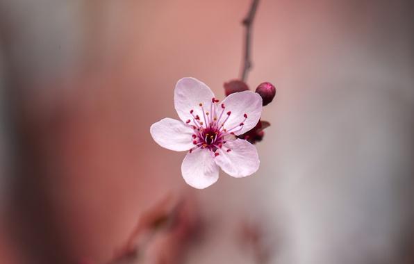 Picture flower, spring, Sakura, bokeh
