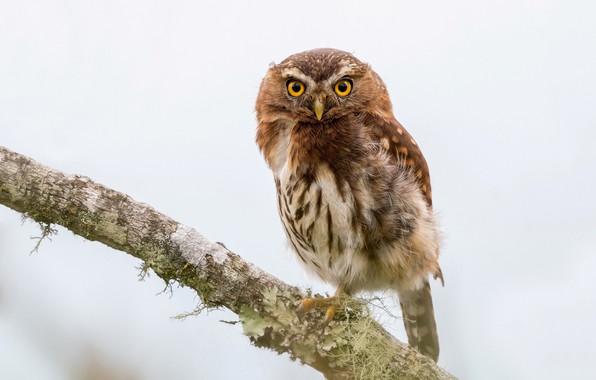 Picture owl, bird, Glaucidium jardinii