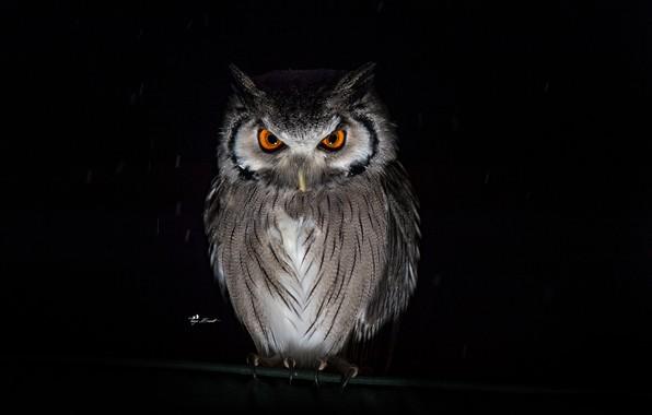 Picture look, rain, owl, black background