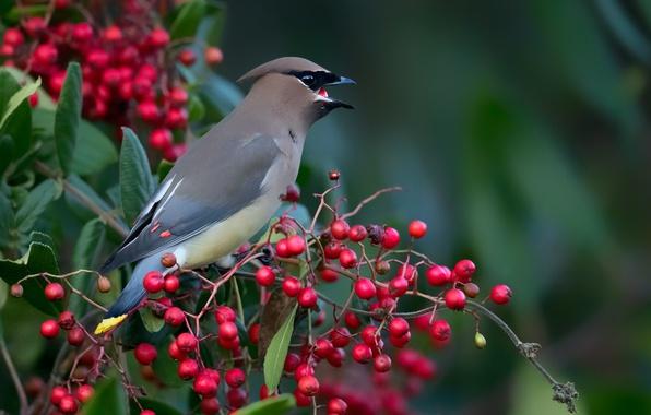 Picture birds, berries, branch, cedar Waxwing