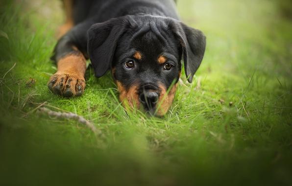 Picture grass, look, dog, puppy, face, bokeh, Rottweiler