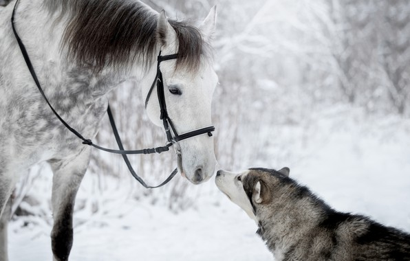 Picture winter, horse, feelings, dog, friends, husky