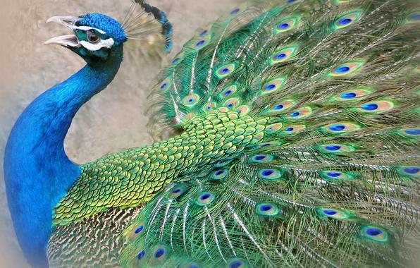 Picture bird, feathers, beak, tail, peacock