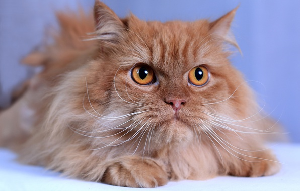 Picture cat, cat, mustache, look, muzzle, red, fluffy