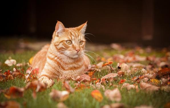 Picture autumn, cat, leaves, portrait, red cat