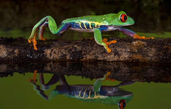 Picture water, macro, nature, reflection, the dark background, tree, frog, log, green, crossing, pond, fauna, dendrobates