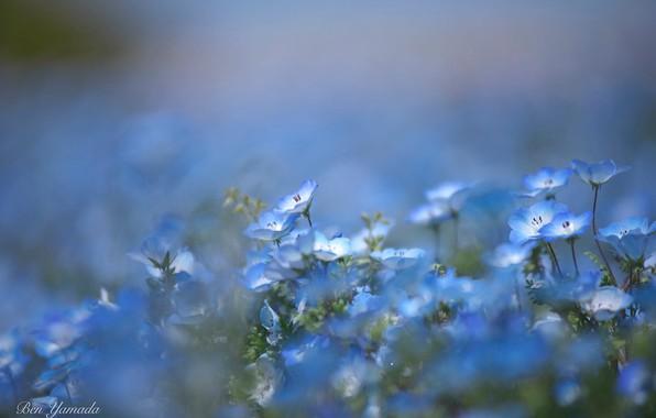 Picture blur, blue flowers, nemophila