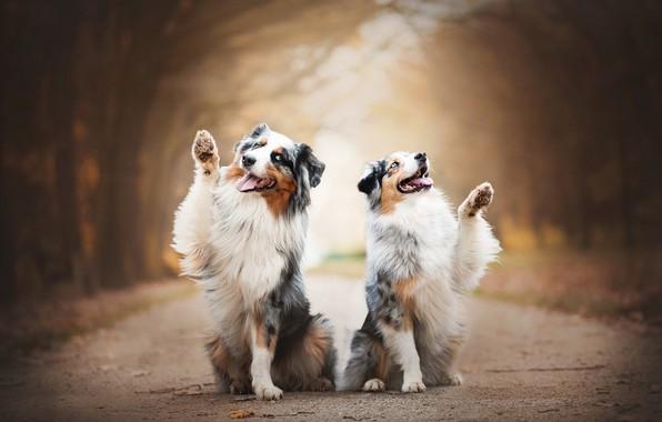Picture joy, a couple, bokeh, two dogs, Australian shepherd, Aussie