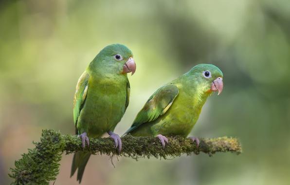 Picture birds, background, branch, parrots, two, bokeh