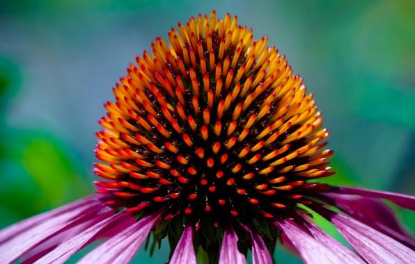 Picture flower, petals, Echinacea