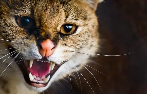 Picture Cat, Beast, Animals, Pet, Brute