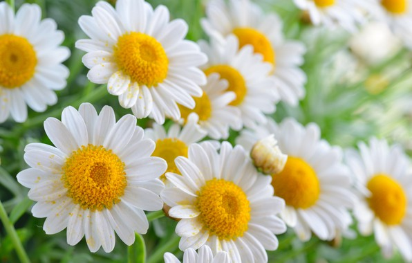 Picture summer, flowers, chamomile, flowering