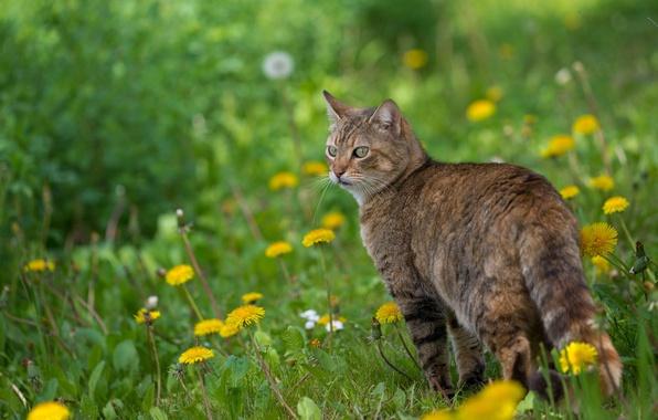 Picture cat, cat, flowers, spring, dandelions