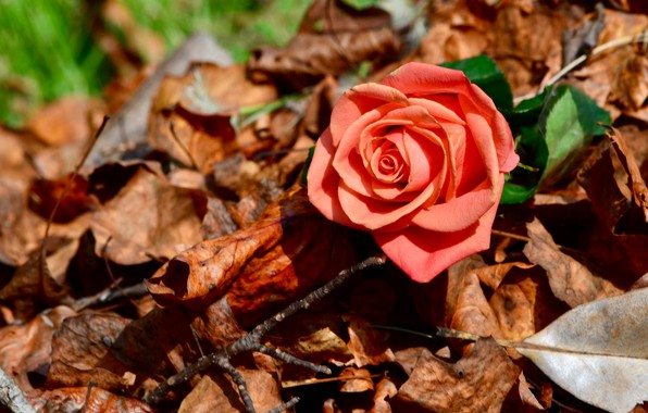 Picture autumn, leaves, macro, rose, Bud