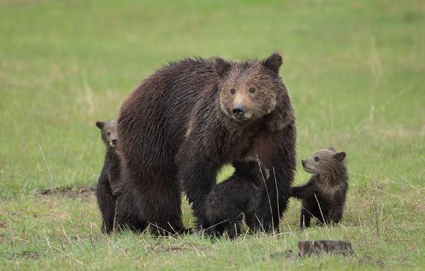 Picture animal, bears, large, skin, bears, bear