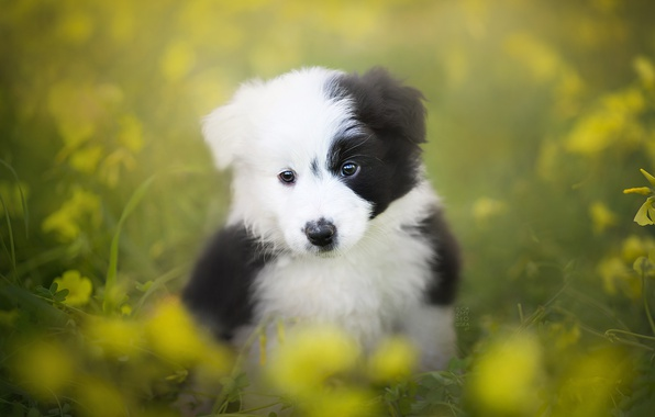 Picture look, dog, puppy, bokeh, The border collie
