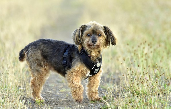 Picture grass, York, bokeh, Yorkshire Terrier