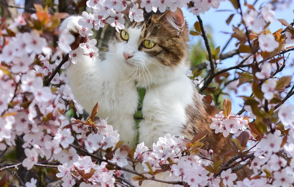Picture cat, branches, cherry, spring, flowering, on the tree, flowers, cat