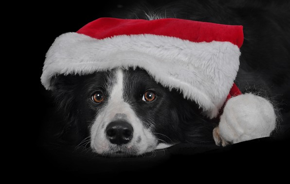 Picture look, face, dog, cap, the dark background, The border collie