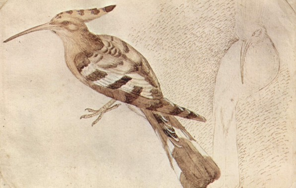 Picture bird, Hoopoe, Bird, Antonio Pisanello