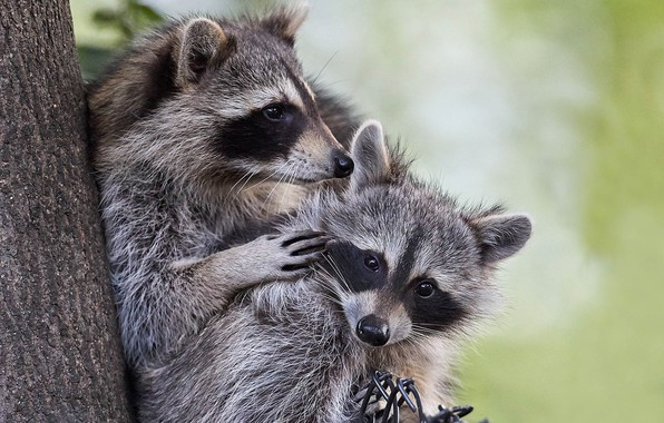 Picture a couple, raccoons, two raccoons