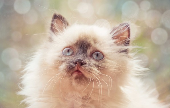 Picture cat, eyes, kitty, fantasy, ears, bokeh, Frosya