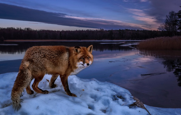 Picture winter, forest, snow, trees, landscape, nature, river, shore, the evening, Fox, red, Fox