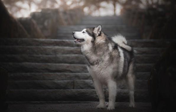 Picture dog, ladder, Husky