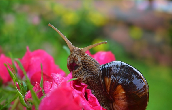 Picture Macro, Flowers, Snail, Roses, Flowers, Roses, Macro