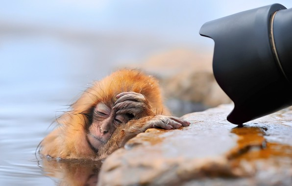 Picture winter, water, snow, wet, monkey, lens, monkeys, monkey, geyser, tired, Japanese macaques, Oh, those paparazzi..., …