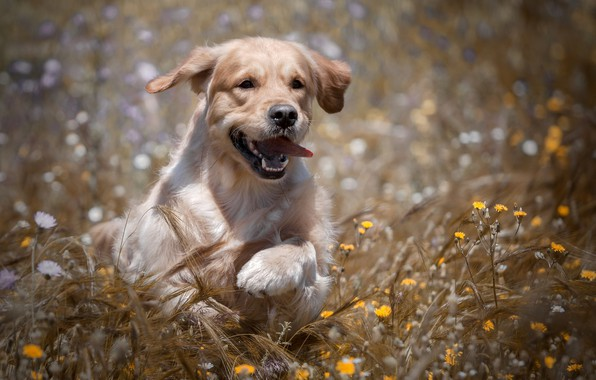 Picture field, joy, flowers, dog, ears, walk, Golden Retriever, Golden Retriever