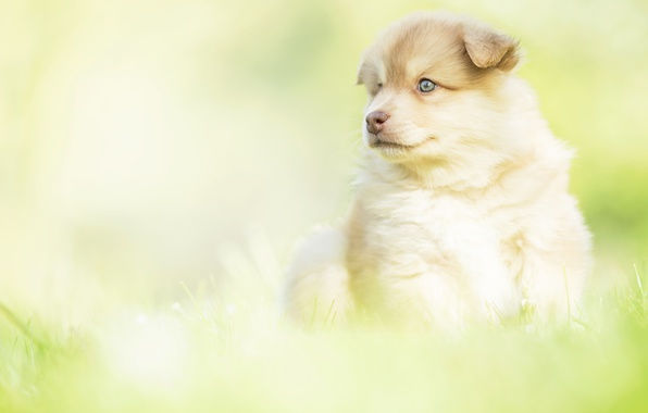 Picture look, background, dog, baby, puppy, Finnish lapphund