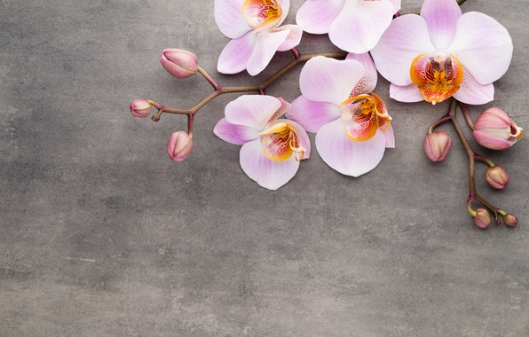 Photo wallpaper Orchid, pink, flowers, orchid