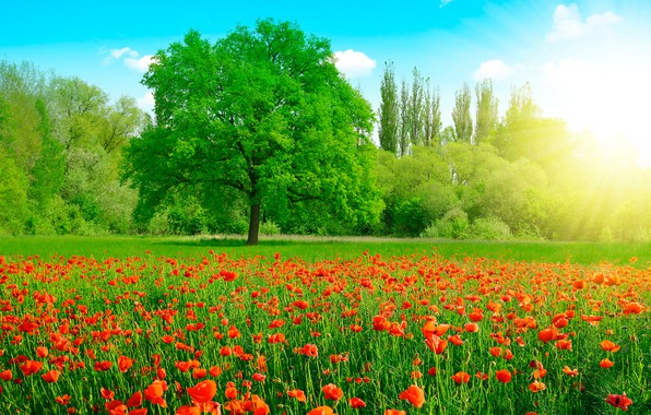 Picture greens, field, summer, the sky, grass, the sun, clouds, trees, flowers, Maki, red