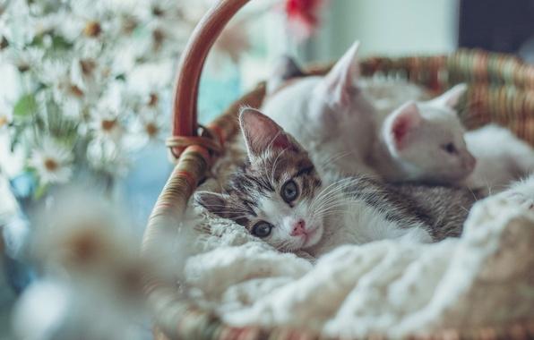 Picture basket, kittens, bokeh