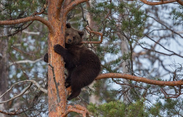 Picture branches, tree, animal, predator, bear, pine, Peter Grischott