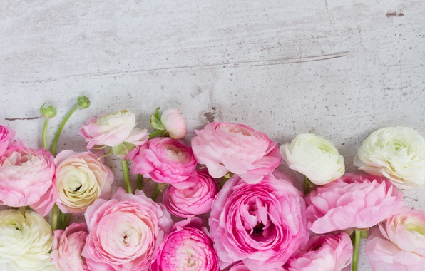 Picture pink, pink flowers, flowers, beautiful, buttercups, ranunculus