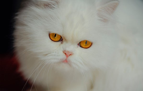 Picture look, muzzle, white, fluffy, Persian cat