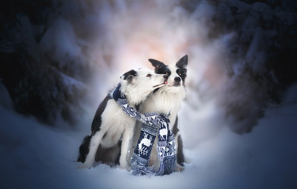 Picture winter, snow, kiss, pair, friends, two dogs, The border collie