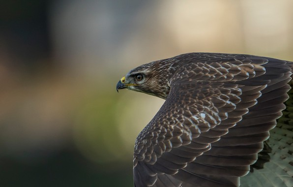 Picture background, bird, wings, predator, feathers, flight, Hawk, bokeh, Buzzard