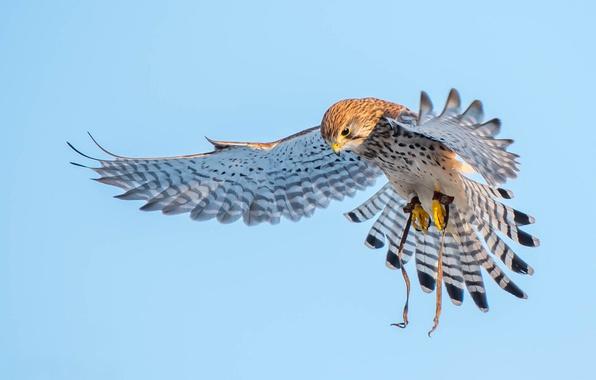 Picture birds, wings, predator, Kestrel