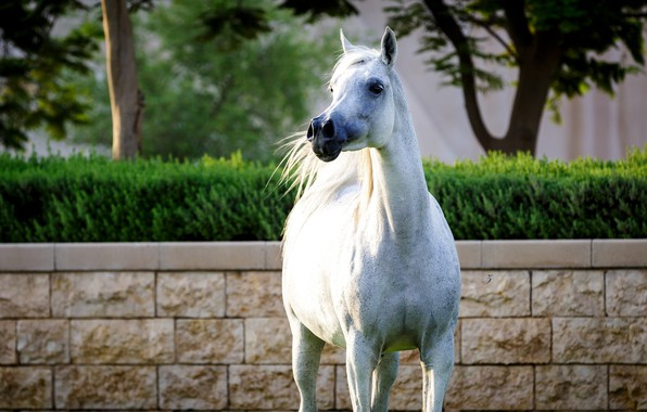 Picture white, horse, horse, posing
