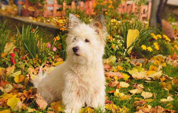 Picture Nature, Autumn, Dog, Nature, Dog, Fall, Foliage, Autumn, Leaves, The West highland white Terrier