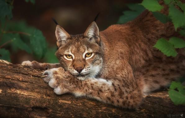 Picture leaves, portrait, predator, lynx