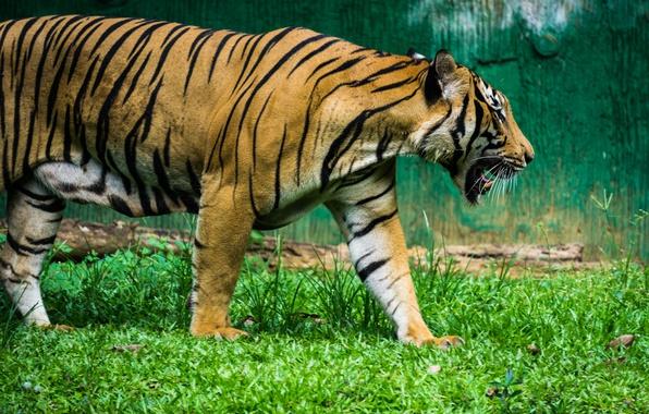 Picture green, black, nature, tiger, stripes, animal, zoo, mammal, malaysia, malacca