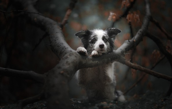 Picture autumn, branches, tree, dog, a sad look, face, bokeh, doggie, The border collie