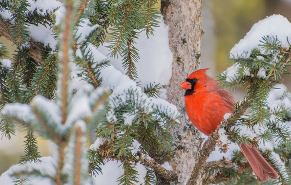 Wallpaper Snow, Branches, Tree, Bird, Red Cardinal Images