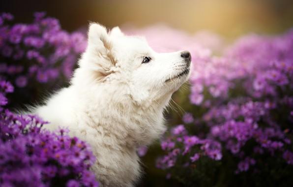 Picture flowers, dog, puppy, profile, face, chrysanthemum, bokeh, Samoyed